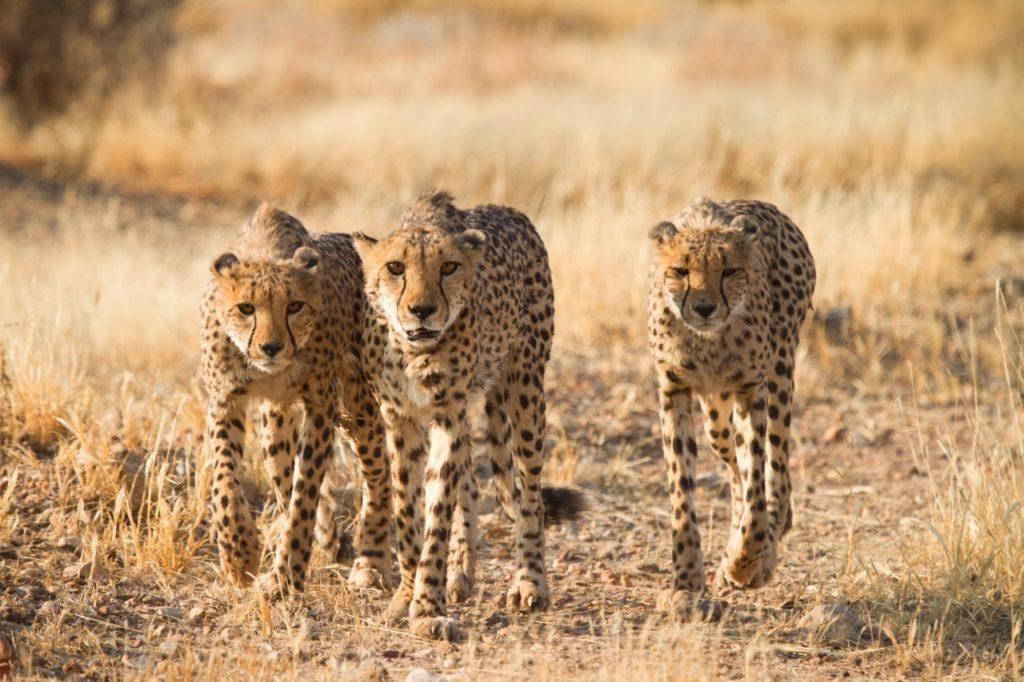 Países para la observación de fauna rara - cheetahs namibia