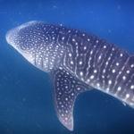 datos interesantes sobre los tiburones ballena de Djibouti en Djibouti de cerca