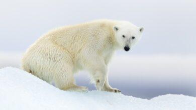 Photo of Muerte del oso polar: ¿el turismo de la extinción ha ido demasiado lejos?