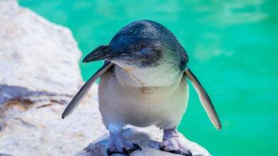 Photo of A la Isla de los Pingüinos desde Perth, Australia