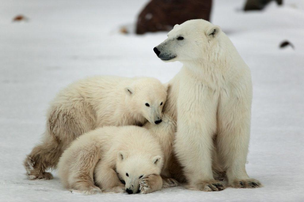 Países para la observación de fauna rara - osos polares canadá