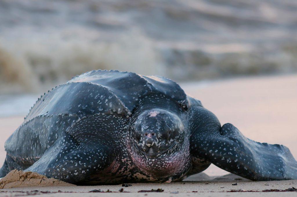 Países para la observación de la vida silvestre rara - tortugas costa rica