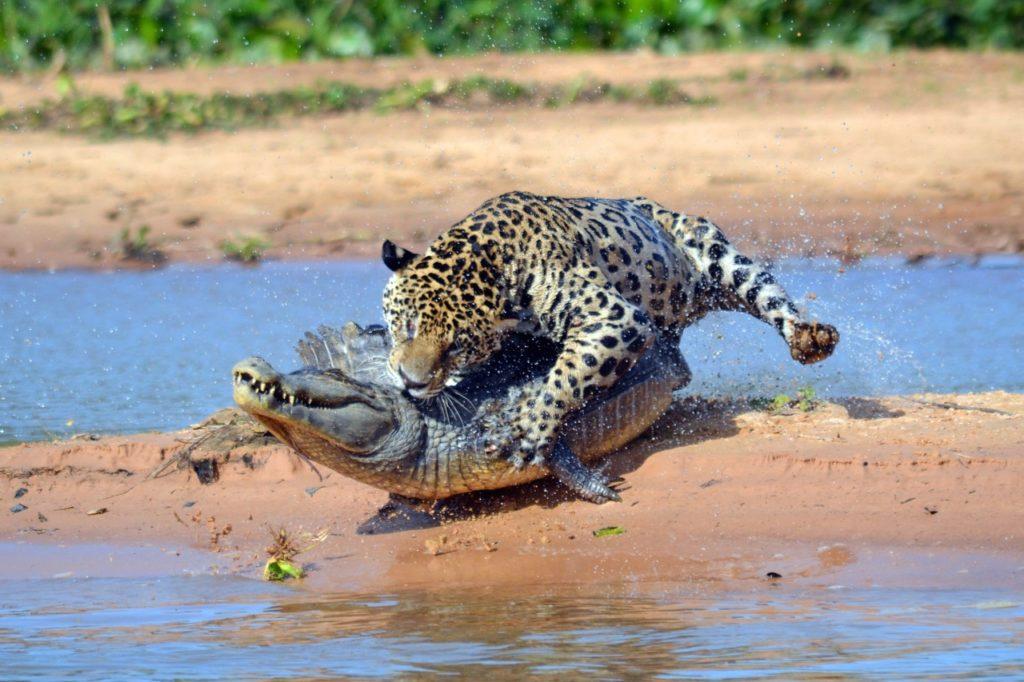 Países para la observación de fauna rara - jaguares brasil