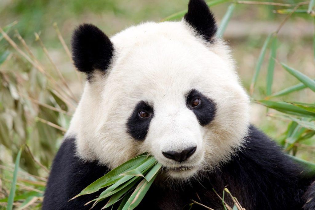 Países para la detección de fauna rara - pandas china