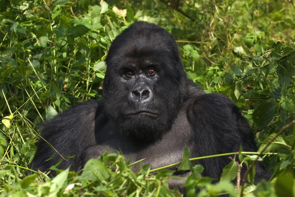 Países para la observación de la vida silvestre rara - gorilas uganda rwanda