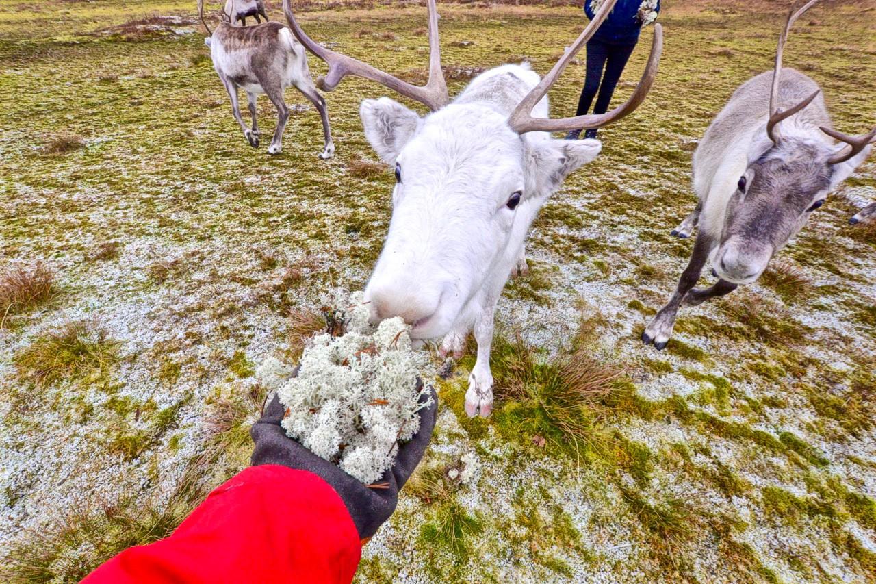 alimentación-ártico-reindeer-en-el-tromso-19