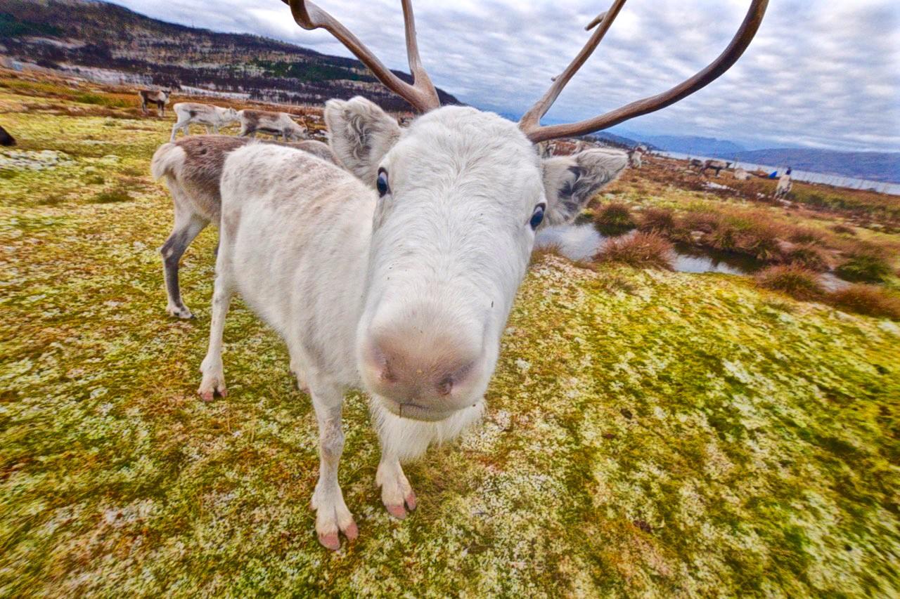 Un reno ártico de aspecto tonto en Tromso