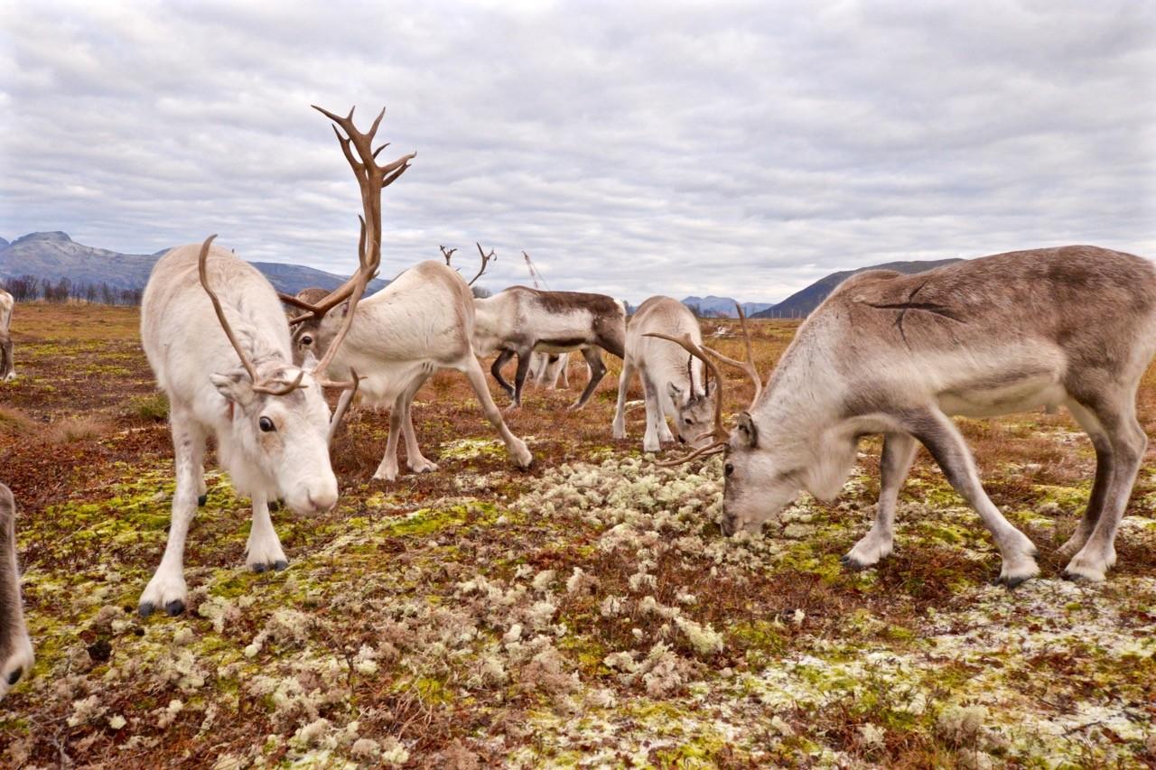 Alimentando a los renos del Ártico en Tromso
