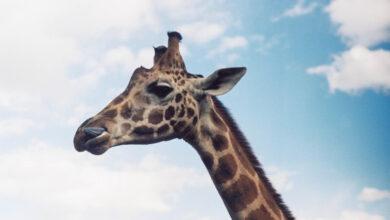 Photo of Dónde ir de Safari en Kenia