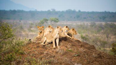 Photo of Reserva de Caza de Manyeleti: nuestro primer safari en Sudáfrica