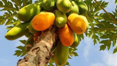 Photo of No ofrezcas papaya: anunciando nuestro nuevo libro